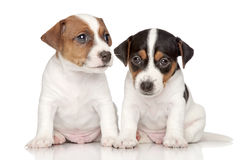 Cachorrinhos do terrier de Jack-Russell Foto de Stock Royalty Free