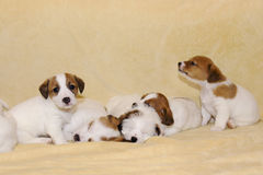Cachorrinhos do terrier de Jack Russell Foto de Stock