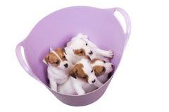 Cachorrinhos do terrier de Jack russell em uma cesta Imagens de Stock Royalty Free