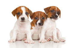 Cachorrinhos do terrier de Jack russell no branco Fotografia de Stock Royalty Free
