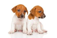 Cachorrinhos do terrier de Jack russell no branco Imagem de Stock