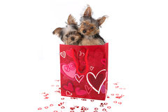 Cachorrinhos do yorkshire terrier em Valentine Themed Bag Fotografia de Stock Royalty Free