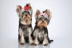 Cachorrinhos do yorkshire terrier no fundo cinzento Fotografia de Stock