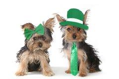 Cachorrinhos do yorkshire terrier que comemoram o dia de Patricks de Saint Fotos de Stock