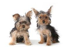 Cachorrinhos do yorkshire terrier que sentam-se no fundo branco Fotos de Stock