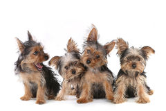 Cachorrinhos do yorkshire terrier que sentam-se no fundo branco Fotografia de Stock Royalty Free