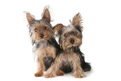 Cachorrinhos do yorkshire terrier que sentam-se no fundo branco Imagem de Stock