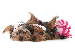 Cachorrinhos do yorkshire terrier vestidos acima no rosa Fotos de Stock