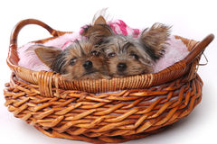 Cachorrinhos do yorkshire terrier vestidos acima no rosa Foto de Stock Royalty Free