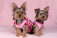 Cachorrinhos do yorkshire terrier vestidos acima no rosa Fotografia de Stock Royalty Free