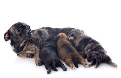 Cachorrinhos e chihuahua da mãe Imagens de Stock Royalty Free