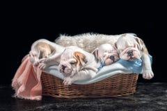 Cachorrinhos ingleses bonitos do buldogue Fotos de Stock