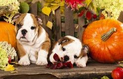 Cachorrinhos ingleses do buldogue Fotos de Stock
