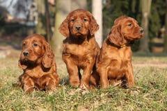 Cachorrinhos irlandeses do setter vermelho na natureza Foto de Stock Royalty Free