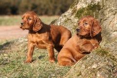 Cachorrinhos irlandeses do setter vermelho na natureza Imagem de Stock Royalty Free