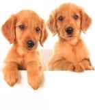 Cachorrinhos irlandeses dourados Fotos de Stock