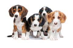 Cachorrinhos isolados no branco Fotos de Stock
