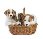 Cachorrinhos Jack Russell Fotografia de Stock