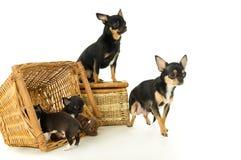 Cachorrinhos, mãe e pai pequenos da chihuahua Fotos de Stock