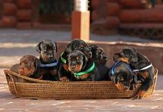7 cachorrinhos na cesta Fotografia de Stock Royalty Free