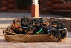 7 cachorrinhos na cesta Foto de Stock