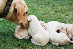 Cachorrinhos na grama verde - três semanas do sono Labrador velho. Imagem de Stock Royalty Free