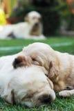 Cachorrinhos na grama verde - três semanas do sono Labrador velho. Fotografia de Stock