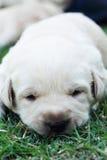 Cachorrinhos na grama verde - três semanas do sono Labrador velho. Imagens de Stock Royalty Free
