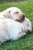 Cachorrinhos na grama verde - três semanas do sono Labrador velho. Fotografia de Stock Royalty Free