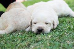Cachorrinhos na grama verde - três semanas do sono Labrador velho. Foto de Stock Royalty Free