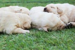 Cachorrinhos na grama verde - três semanas do sono Labrador velho. Imagens de Stock