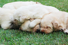 Cachorrinhos na grama verde - três semanas do sono Labrador velho. Fotos de Stock Royalty Free