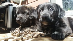 Cachorrinhos nas correntes Imagem de Stock Royalty Free