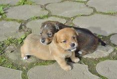 Cachorrinhos pequenos 5 Imagens de Stock