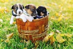 Cachorrinhos pequenos de um jaque russell na grama verde Imagem de Stock Royalty Free