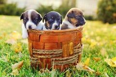Cachorrinhos pequenos de um jaque russell na grama verde Imagens de Stock Royalty Free