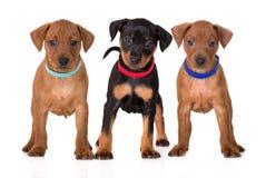 Cachorrinhos pretos e vermelhos do pinscher diminuto que estão no branco Fotografia de Stock Royalty Free