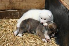 Cachorrinhos recém-nascidos de Akita Inu Imagem de Stock Royalty Free