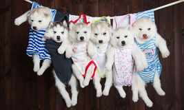 Cachorrinhos roncos bonitos, em um fundo Fotografia de Stock