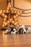 Cachorrinhos roncos bonitos eyed azul Fotografia de Stock