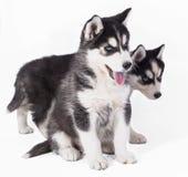 Cachorrinhos roncos, cachorrinhos de olhos azuis bonitos da sapeca, cachorrinhos no fundo branco imagem de stock