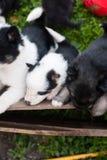 Cachorrinhos roncos pequenos fotografia de stock royalty free
