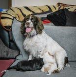 4 cachorrinhos semanas de idade adoráveis de cocker spaniel Imagem de Stock Royalty Free