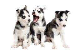 5 cachorrinhos siberian velhos das semanas isolados no branco Imagem de Stock Royalty Free