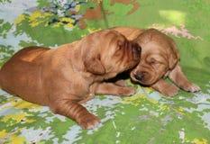Cachorrinhos velhos de duas semanas do golden retriever junto Imagens de Stock Royalty Free