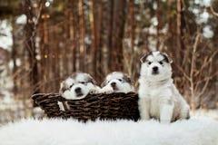 Cachorrinhos velhos de um malamute do Alasca do mês Imagens de Stock Royalty Free