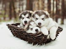 Cachorrinhos velhos de um malamute do Alasca do mês Fotografia de Stock Royalty Free