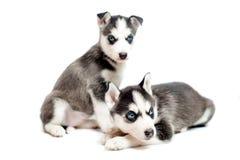 4 cachorrinhos velhos do cão de puxar trenós siberian das semanas Imagens de Stock