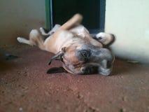 Cachorro Fotografia Stock