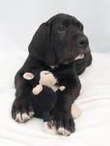 Cachorro con el juguete negro Fotografía de archivo
